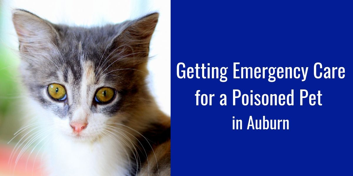 Emergency Care for a Poisoned Pet in Auburn